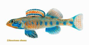 A fish named Obama-for real.